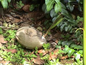 tenhle kokos už není k jídlu