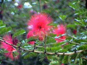 červené květy, které nejvíce přitahují kolibříky