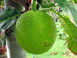 chlebovník (breadfruit)
