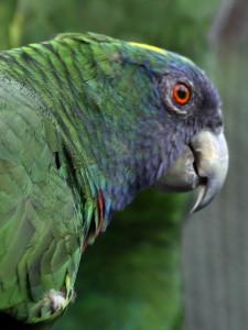 Amazoňan červenokrký (Jaco)
