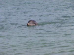 Dolphin FantaSeas