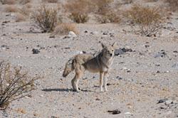 Hlavním predátorem pouští amerického jihozápadu je kojot